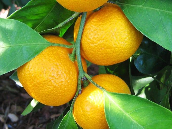 Owari Satsuma Mandarins