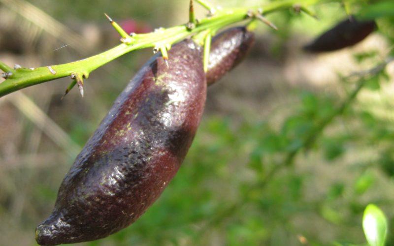 aust-finger-lime-11-11-11